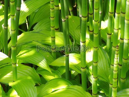 bambu e hosta