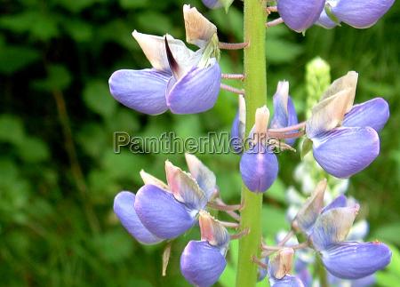 fiore viola lupino foresta pianta lupinus