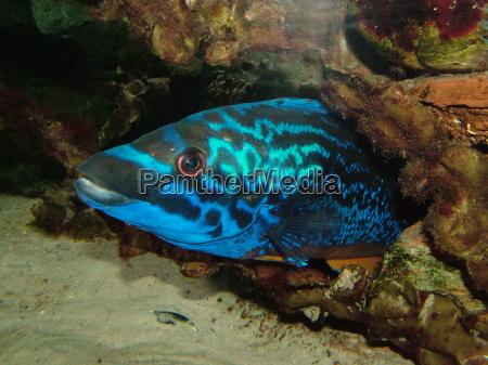 blu grotta acquario pesce occhio organo