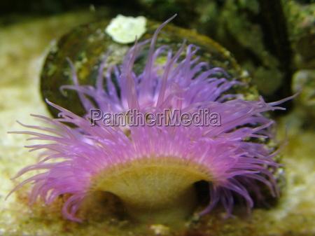 viola tentacolare prendere acqua salata mare