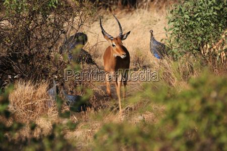 antilope i