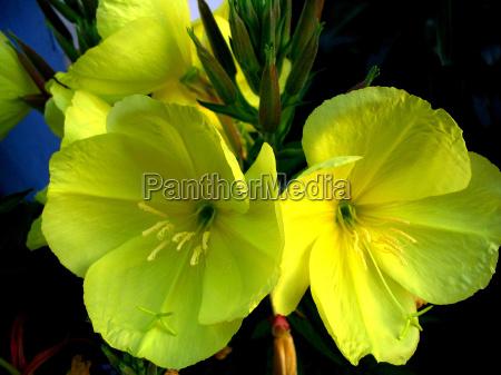 fiore fiori sanguinare pianta medicinale giallo