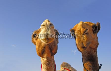 cammelli in arabia saudita
