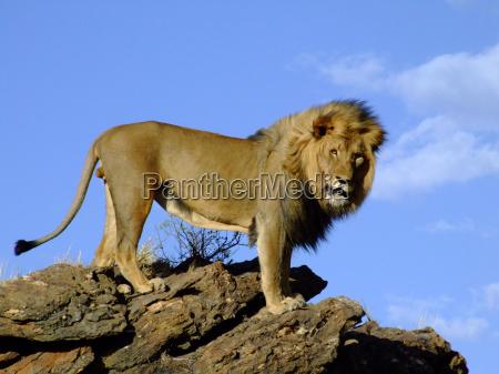 africa leone gatto felino