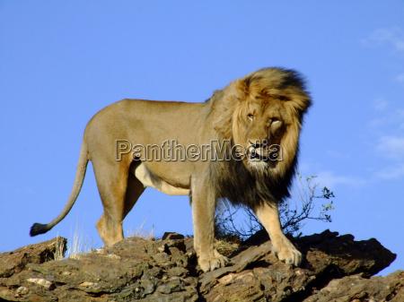 africa namibia leone gatto felino predatore