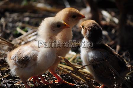 kuecken huehner henne legehenne vogel gefluegel