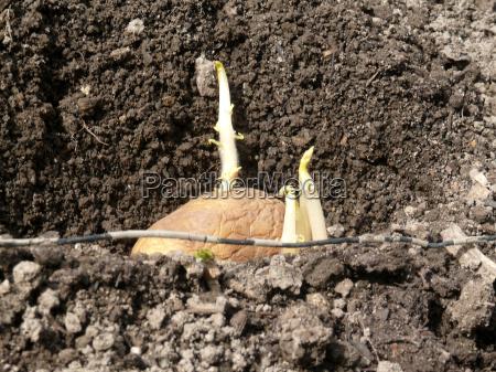 agricoltura patate germinazione patata di patate