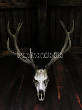 cranio osso cervo casa di campagna