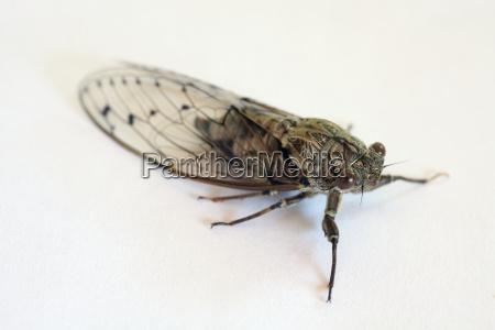 insetto grillo cicala cinguettare singzikade cicadidae