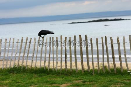 orizzonte uccello uccelli costa scozia corvo