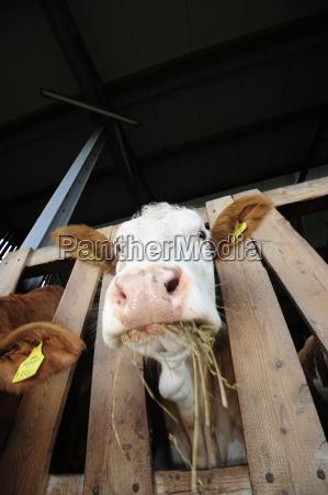 foraggimangimialimenti per animalimuccamanzocarneanimali da fattoriabestiamerazze bovineanimali