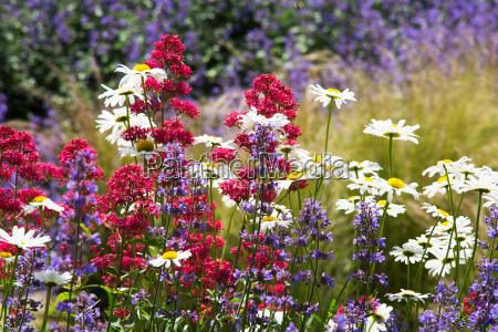 fiore estate margherita prato