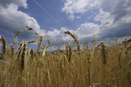 aehregranocampo di granocerealiciboalimentiackerkulturenlagricolturala produzione agricolalordine terrenoagrariaeconomia