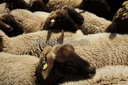 agricoltura pecora bestiame pecore nutztiere nutztierhaltung