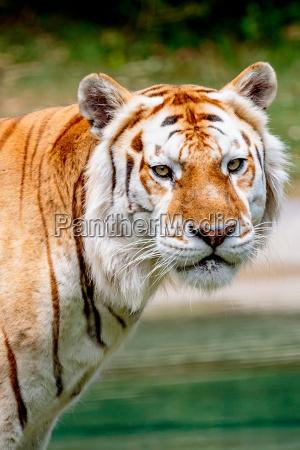 gatto tigre bengala