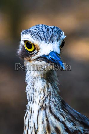 curlew ritratto