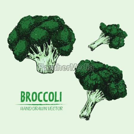 disegnato digitale vettore colore dettagliata broccoli