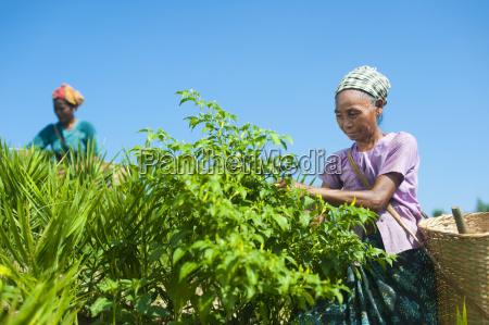 viaggio viaggiare agricolo colore asia agricoltura