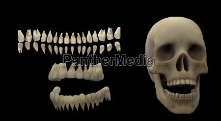 rendering 3d di denti umani e