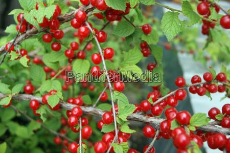 bush della ciliegia di bacche