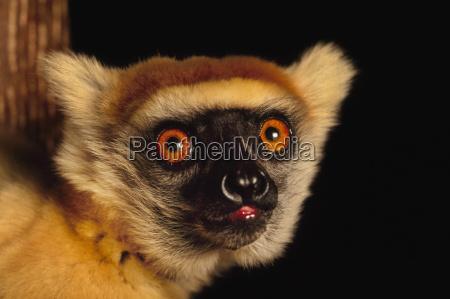 primo piano close up animale mammifero