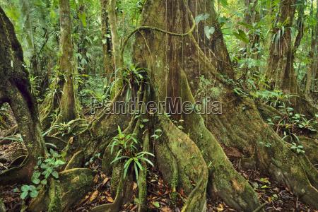 albero flora orizzontale america centrale allaperto