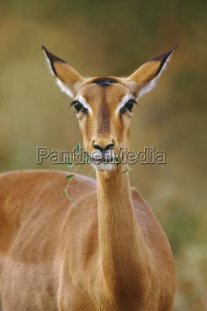 foglia animale mammifero africa flora allaperto