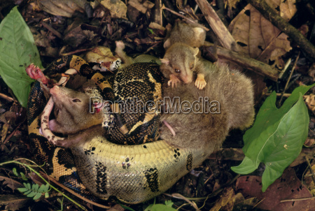 primo piano close up animale rettile